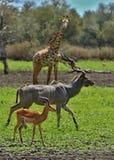 Όμορφο antilope στο βιότοπο φύσης Στοκ Εικόνα