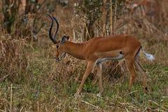 Όμορφο antilope στο βιότοπο φύσης Στοκ Εικόνες