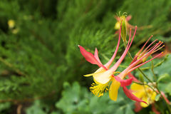Όμορφο aquilegia λουλουδιών Στοκ φωτογραφίες με δικαίωμα ελεύθερης χρήσης