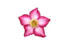 Όμορφο Arabicum Στοκ φωτογραφία με δικαίωμα ελεύθερης χρήσης