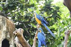 Όμορφο ararauna Ara μπλε-και-κίτρινου macaw Στοκ Εικόνα