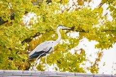 Όμορφο Ardea φαιάς ουσίας και δέντρο ginkgo που μετατρέπεται σε κίτρινο Στοκ Φωτογραφία