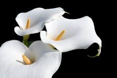 Όμορφο Arum Lilly Στοκ φωτογραφία με δικαίωμα ελεύθερης χρήσης