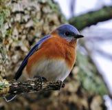 Όμορφο bluebird σκαρφαλωμένο Στοκ Φωτογραφίες