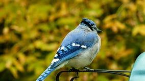 Όμορφο bluejay πουλί - cristata cyanocitta corvidae - συνδετήρας κινηματογραφήσεων σε πρώτο πλάνο που στέκεται σε μια πέρκα φιλμ μικρού μήκους