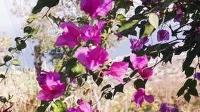 Όμορφο Bougainvillea ανθίζει την ταλάντευση λουλουδιών φιλμ μικρού μήκους