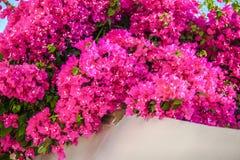 Όμορφο bougainvillea παλαιό στον παραδοσιακό στοκ εικόνες