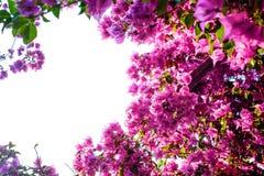 Όμορφο bougainvillea στο νησί Santorini, Oia, Ελλάδα Στοκ Φωτογραφίες