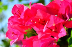 Όμορφο bougainvillea στο πάρκο Στοκ φωτογραφία με δικαίωμα ελεύθερης χρήσης