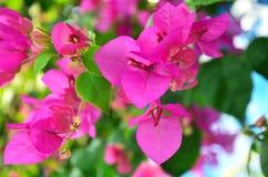 Όμορφο bougainvillea στο πάρκο Στοκ Φωτογραφία