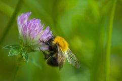 Όμορφο bumblebee σε ένα λουλούδι Στοκ Εικόνα