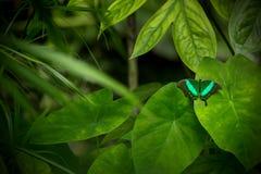 Όμορφο buterfly πεταλούδων swallowtail, palinurus Papilio στο τ Στοκ εικόνα με δικαίωμα ελεύθερης χρήσης