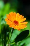 Όμορφο calendula στοκ φωτογραφίες