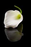 όμορφο calla lilly λευκό Στοκ εικόνες με δικαίωμα ελεύθερης χρήσης