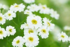 Όμορφο camomile άσπρο λουλούδι σε ένα πράσινο φωτεινό λιβάδι άνοιξη Στοκ Φωτογραφία