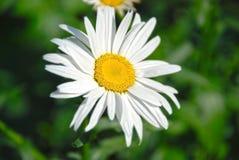 Όμορφο camomile λουλούδι Στοκ Εικόνες