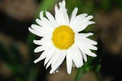 Όμορφο camomile λουλούδι Στοκ φωτογραφία με δικαίωμα ελεύθερης χρήσης