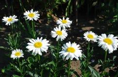 Όμορφο camomile λουλούδι Στοκ φωτογραφίες με δικαίωμα ελεύθερης χρήσης