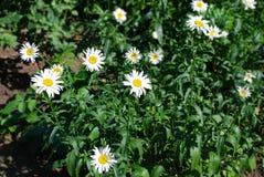 Όμορφο camomile λουλούδι Στοκ Φωτογραφίες