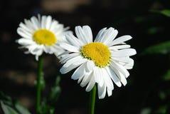 Όμορφο camomile λουλούδι Στοκ εικόνες με δικαίωμα ελεύθερης χρήσης