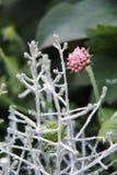 Όμορφο canosa hoyo χλωρίδας λουλουδιών Στοκ φωτογραφία με δικαίωμα ελεύθερης χρήσης