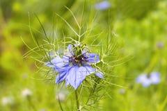 Όμορφο damascena Nigella Στοκ Φωτογραφία