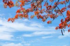 Όμορφο Delonix Regia στην κόκκινη άνθιση, που βρίσκεται σε ένα πάρκο σε VietN Στοκ Εικόνα
