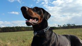 Όμορφο Dobermann Στοκ εικόνες με δικαίωμα ελεύθερης χρήσης
