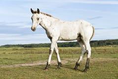 όμορφο foal appaloosa Στοκ φωτογραφίες με δικαίωμα ελεύθερης χρήσης