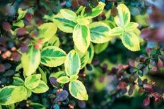 Όμορφο fortunei Euonymus θάμνων Στοκ φωτογραφία με δικαίωμα ελεύθερης χρήσης