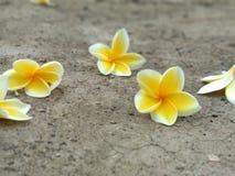 όμορφο frangipani Στοκ εικόνες με δικαίωμα ελεύθερης χρήσης