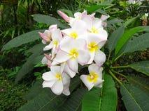 Όμορφο Frangipani, plumeria, δέντρο παγοδών Στοκ Εικόνες