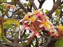 Όμορφο Frangipani, plumeria, δέντρο παγοδών Στοκ φωτογραφία με δικαίωμα ελεύθερης χρήσης