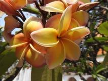 Όμορφο Frangipani, plumeria, δέντρο παγοδών Στοκ εικόνα με δικαίωμα ελεύθερης χρήσης