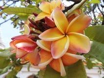 Όμορφο Frangipani, plumeria, δέντρο παγοδών Στοκ εικόνες με δικαίωμα ελεύθερης χρήσης