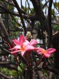 Όμορφο Frangipani, plumeria, δέντρο παγοδών Στοκ Εικόνα