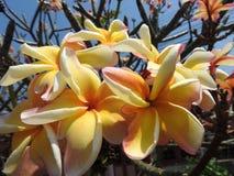 Όμορφο Frangipani, plumeria, δέντρο παγοδών Στοκ φωτογραφίες με δικαίωμα ελεύθερης χρήσης