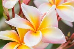 Όμορφο frangipani (plumeria) Στοκ Φωτογραφία