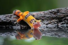 Όμορφο gecko λεοπαρδάλεων στην αντανάκλαση Στοκ Φωτογραφία