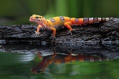 Όμορφο gecko λεοπαρδάλεων στην αντανάκλαση Στοκ Εικόνα