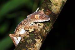 Όμορφο Gecko Στοκ Εικόνες
