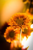 όμορφο gerbera κίτρινο Στοκ Εικόνα