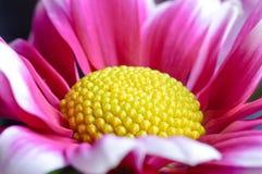 όμορφο gerbera μαργαριτών Στοκ Εικόνα