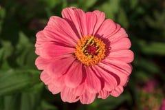 Όμορφο gerbera λουλουδιών στο πράσινο λιβάδι στοκ εικόνα με δικαίωμα ελεύθερης χρήσης