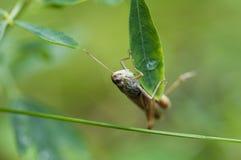 Όμορφο Grasshopper σε ένα φύλλο εργασίας Στοκ φωτογραφία με δικαίωμα ελεύθερης χρήσης