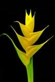 όμορφο heliconia λουλουδιών χρώματος άνθισης ζωηρό στοκ εικόνες