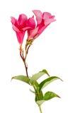 όμορφο hibiscus λουλουδιών ροζ Στοκ εικόνες με δικαίωμα ελεύθερης χρήσης