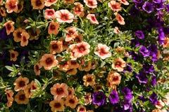 Όμορφο hybrida πετουνιών πετουνιών χρώματος στη μαλακή εστίαση κήπων Στοκ Εικόνες