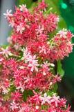 Όμορφο indicum Combretum στοκ εικόνα