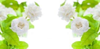 Όμορφο jasmine λουλούδι στο άσπρο υπόβαθρο Στοκ εικόνα με δικαίωμα ελεύθερης χρήσης